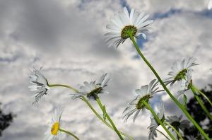 daisy-50997_640